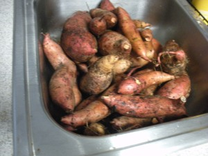 Our 20+ lbs of freshly harvested sweet potatoes, about to be cleaned.